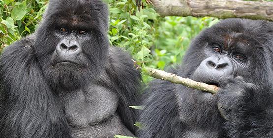 Gorilla Tracking - 2016 - Rwanda
